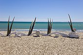 Southern Right Whale bones on shore - Argentina