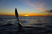 Southern Right Whale fin at sunset - Argentina