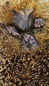 European Hedgehog in ball - Canna Small Islands Hebrides