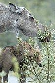 Alaskan Moose and young eating foliage - Denali Alaska