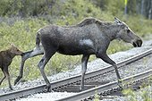Alaskan Moose and young crossing the rails - Denali Alaska