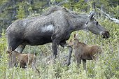 Alaskan Moose and young in tundra - Denali Alaska