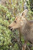 Young Alaskan Moose eating foliage - Denali Alaska