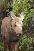 Young Alaskan Moose in tundra - Denali Alaska