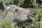 Portrait of Alaskan Moose eating foliage - Denali Alaska