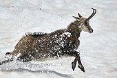 Chamois running in the snow - Mercantour Alpes France