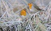 European Robin singing - Northern Vosges France