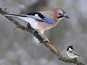 Eurasian Jay and Coal Tit on branch - Northern Vosges France