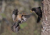 Blackbirds couple in conflict - Northern Vosges France