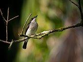Black-winged Flycatcher-shrike - Bako Borneo Malaysia