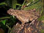 River Toad - Gunung Mulu Borneo Malaysia