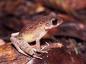 Brown Marsh Frog - Gunung Mulu Borneo Malaysia