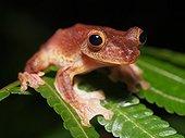 Harlequin Flying Frog - Gunung Mulu Borneo Malaysia