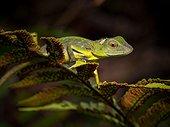 Green Crested Lizard  - Gunung Mulu Borneo Malaysia