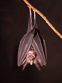 Horseshoe Bat in cave - Gunung Mulu Borneo Malaysia