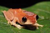 Short-nosed Tree Frog - Tawau Hills Malaysia