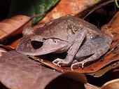 Lowland Litter Frog - Tawau Hills Malaysia