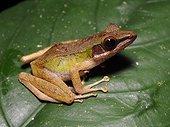 White-lipped Frog - Tawau Hills Malaysia