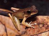 Cricket Frog - Tawau Hills Malaysia