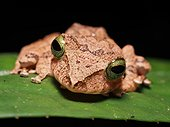 Borneo Bubble-nest Frog - Tawau Hills Malaysia