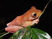 Halrequin Flying  Frog - Tawau Hills Malaysia