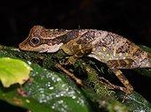 Great Anglehead Lizard - Tawau Hills Malaysia