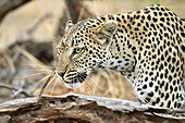 Portrait of female leopard on the lookout - Khwai Botswana