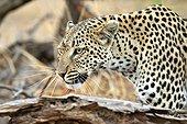 Portrait of female leopard on the lookout - Khwai Botswana