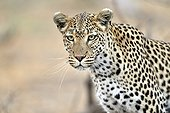 Portrait of female leopard - Khwai Botswana