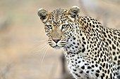 Portrait of female leopard - Khwai Botswana