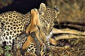 Leopard stifling a Impala - Khwai Botswana