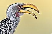 Portrait of yellow-billed Hornbill - Botswana Khwai