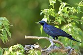 Meves's Starling on a branch - Moremi Botswana