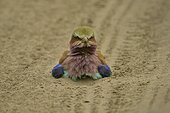 Lilac-breasted Roller on ground - Savuti Botswana ; taking a dust bath