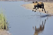 Wild Dog jumping over a puddle - Savuti Botswana