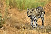 Male leopard walking in the savannah - Savuti Botswana