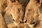 Young Lions cuddling - Savuti Botswana ; Sibling 5 brothers