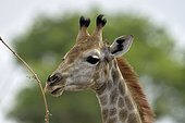 Portrait of Giraffe - Savuti Botswana