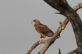 Young Bateleur Eagle on a branch - South Africa
