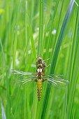 Eurasian Red Dragonfly fledging- Prairie Fouzon France