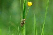 Eurasian Red Dragonfly moult - Prairie Fouzon France
