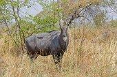 Nilgai in the savannah - Tadoba Andhari India