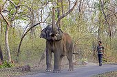 Asian Elephant and mahout on road - Tadoba Andhari India