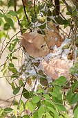 Weaver Ants Nest - India Tadoba Andhari