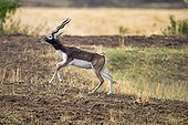 Male Blackbuck walking - Satpura India