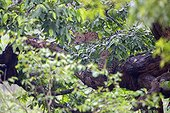 Indian leopard resting on a branch - Nagarhole India