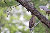 Crested Serpent Eagle on a branch - Nagarhole India