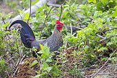 Grey Junglefowl on ground - Nagarhole India