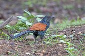 Greater Coucal on ground - Nagarhole India