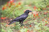 Jungle Crow on ground - Nagarhole India